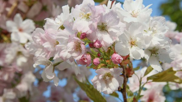 Prunus serrulata Amanogawa   Kwekerij Bakker