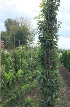 Prunus serrulata Amanogawa | Kwekerij Bakker