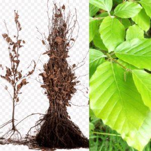 Fagus sylvatica (haagbeuk, kale wortel)