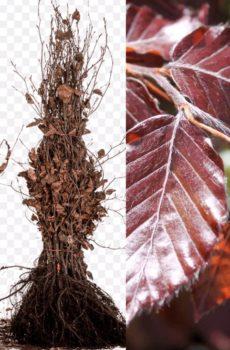 Fagus sylvatica Atropunicea | Kwekerij Bakker