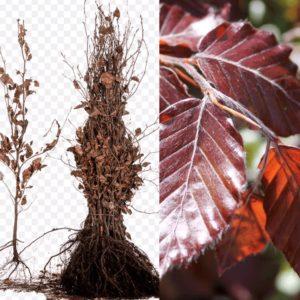 Fagus sylvatica Atropunicea (rode haagbeuk, kale wortel)