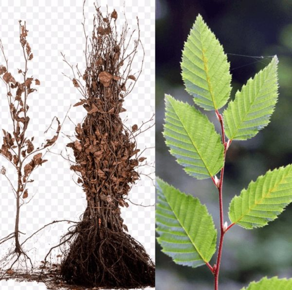 Carpinus betulus | Kwekerij Bakker