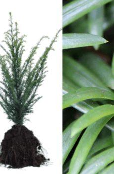 Taxus baccata | Kwekerij Bakker