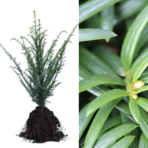 Taxus baccata (kale wortel)