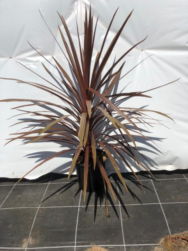 Cordyline australis 'Red Star' - Kwekerij Bakker