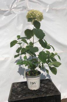 Hydrangea arborescens 'Strong Annabelle' - Kwekerij Bakker