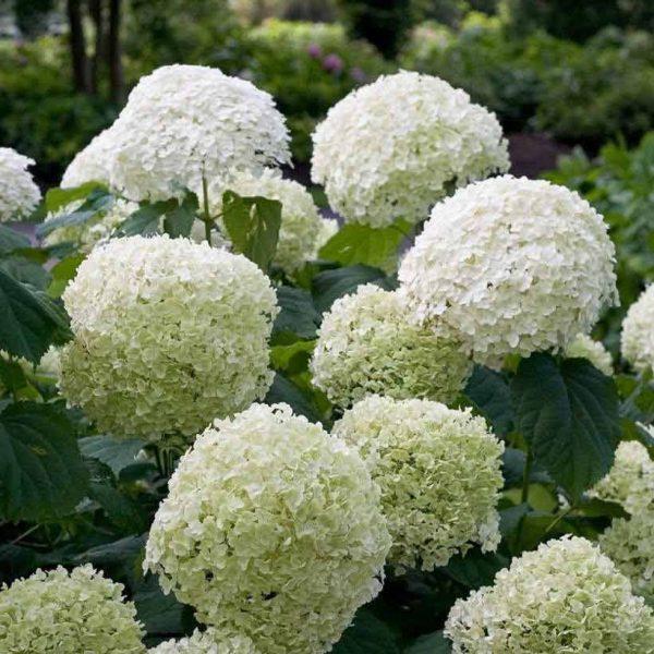 Hydrangea arborescens 'Strong Annabelle' - bloem - Kwekerij Bakker