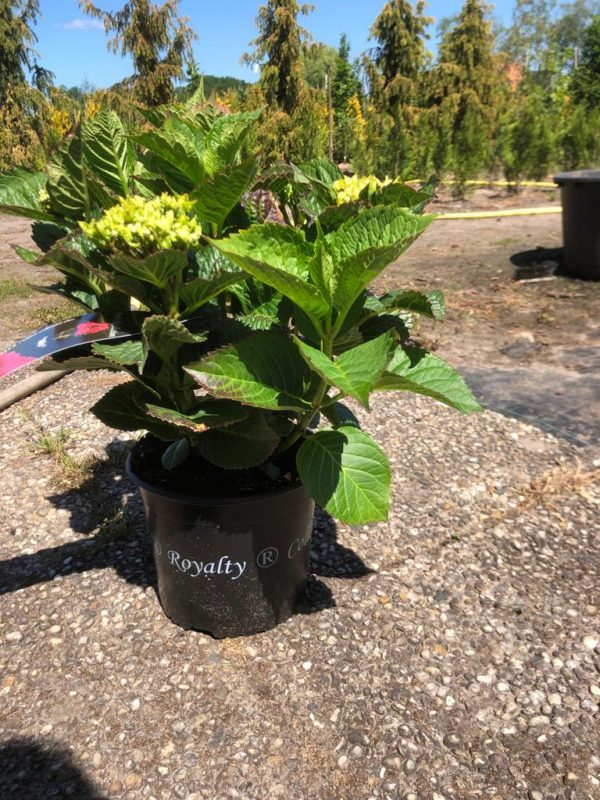 Hydrangea macrophylla 'Duro' - Kwekerij Bakker