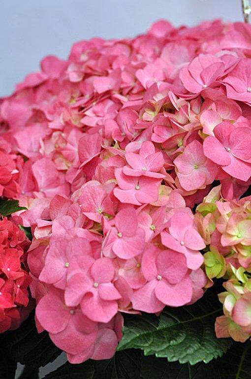 Hydrangea macrophylla 'Duro' - bloem - Kwekerij Bakker