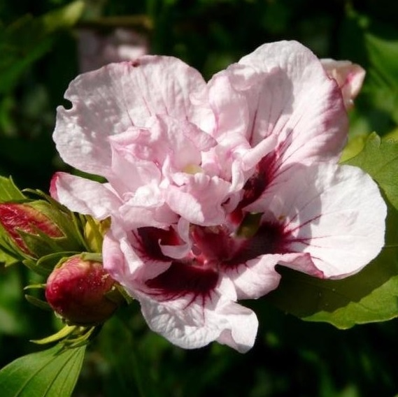 Leopoldii Hibiscus