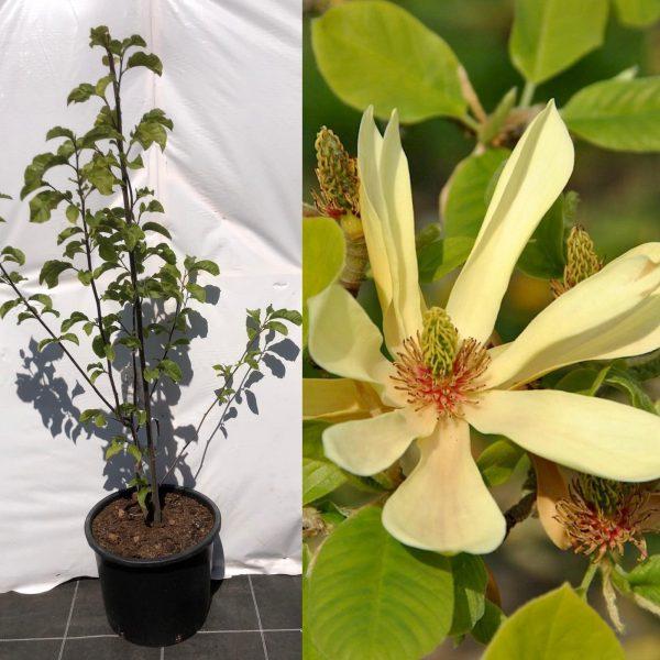 Magnolia Butterflies - Kwekerij Bakker