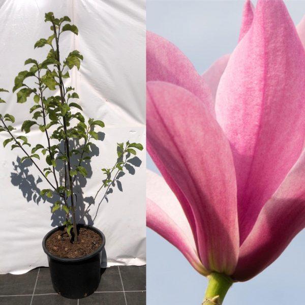 Magnolia Galaxy - Kwekerij Bakker