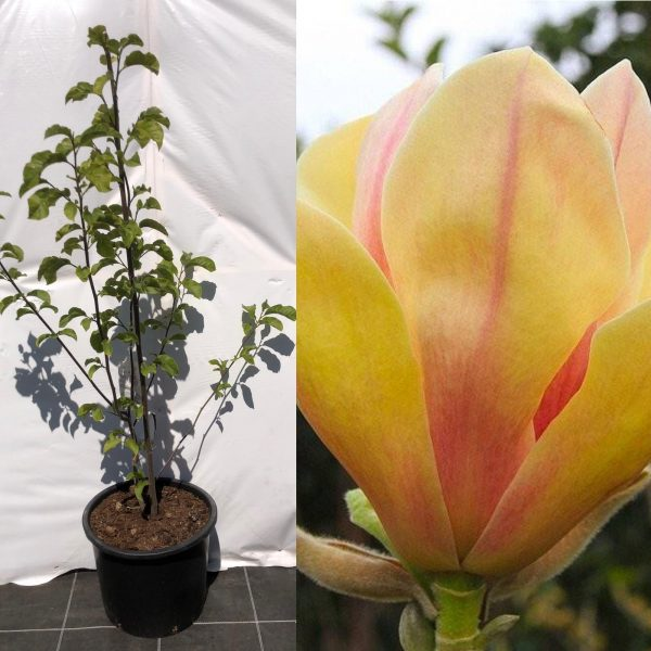 Magnolia Sunsation - Kwekerij Bakker