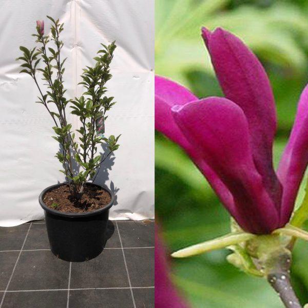 Magnolia Susan - Kwekerij Bakker