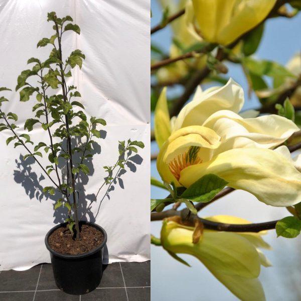 Magnolia Yellow Lantern - Kwekerij Bakker