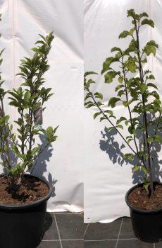 Magnolia in soorten - Kwekerij Bakker