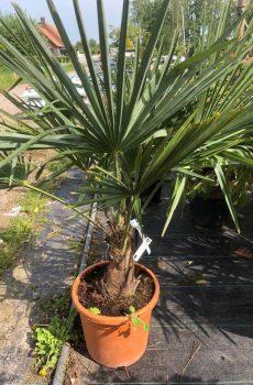 Palm - Kwekerij Bakker