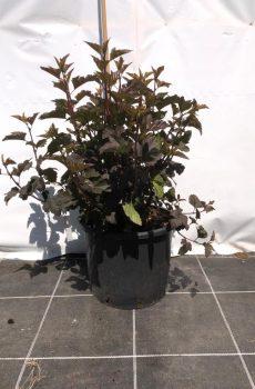 Physocarpus opulifolius 'Diabolo' - Kwekerij Bakker