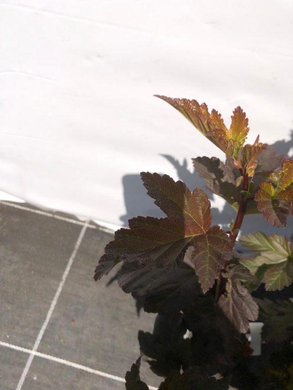 Physocarpus opulifolius 'Diabolo' - blad - Kwekerij Bakker