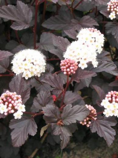 Physocarpus opulifolius 'Diabolo' - bloemen - Kwekerij Bakker