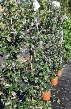 Toscaanse Jasmijn met bloem - Kwekerij Bakker