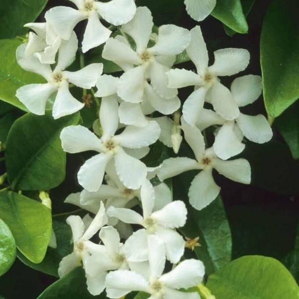 Toscaanse jasmijn bloem - Kwekerij Bakker
