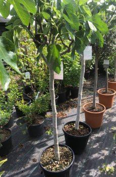 Vijgenboom - Kwekerij Bakker