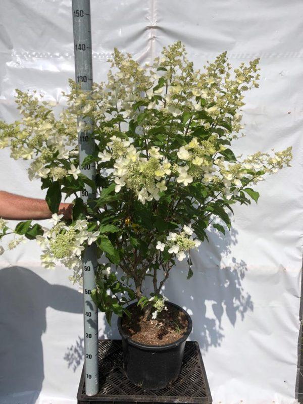 Hydrangea paniculata Kyushu - Kwekerij Bakker