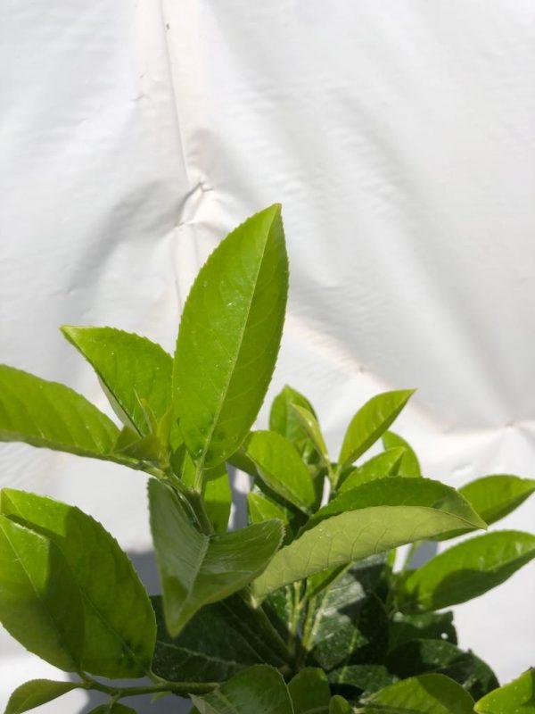 Prunus laurocerasus 'Rotundifolia' (blad) - Kwekerij Bakker