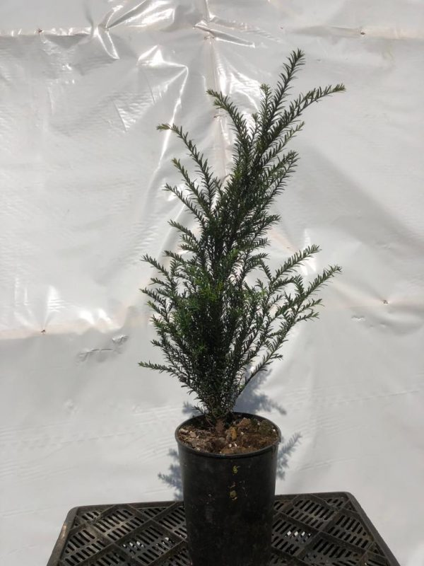 Taxus baccata - Kwekerij Bakker