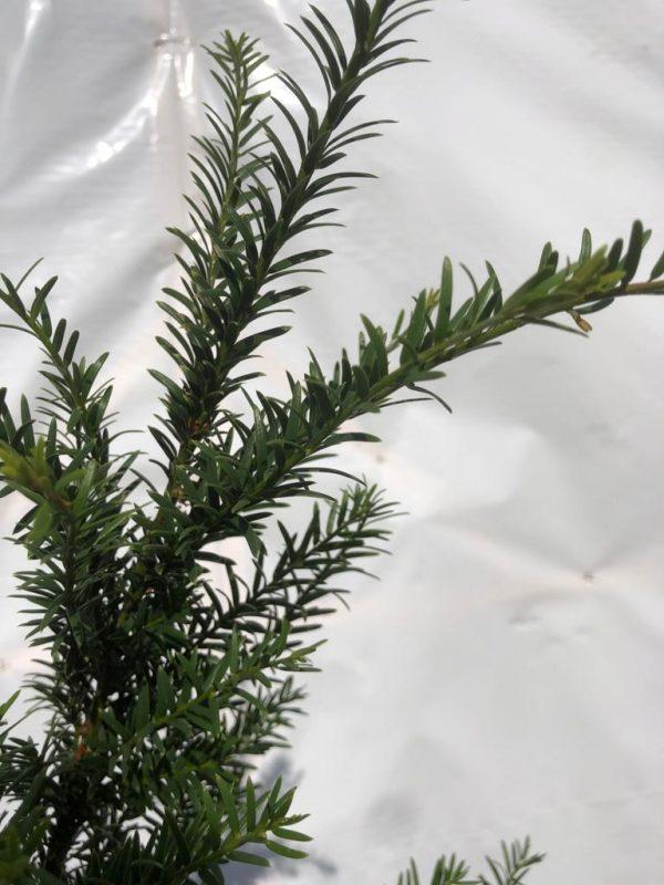 Taxus baccata - naalden - Kwekerij Bakker